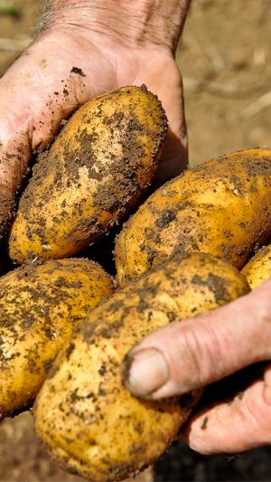 patate bio